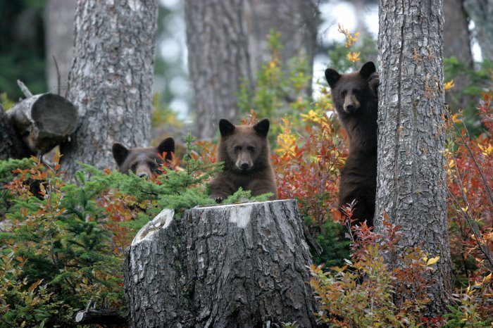 Whistler Bears Wildlife
